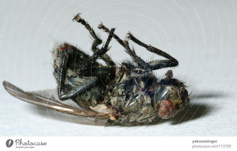 vergammelt Fliege Insekt Fühler Parasit Schmeißfliege