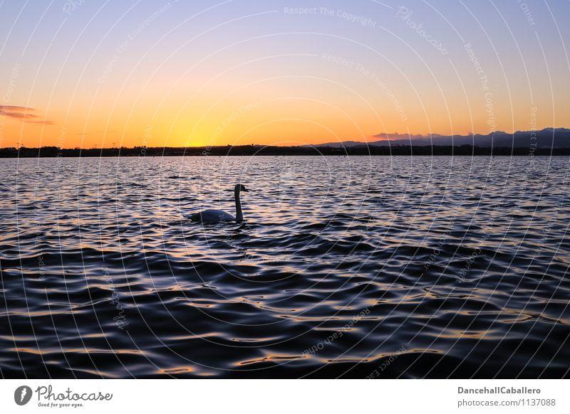 Der frühe Schwan kommt aufs Bild Natur Wasser Wolkenloser Himmel Sonnenaufgang Sonnenuntergang Frühling Sommer Schönes Wetter Seeufer Gardasee Tier Vogel