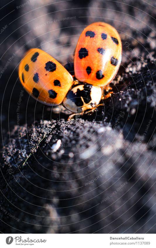 Frühlings-Start Sommer rot Tier schwarz Liebe fliegen elegant offen frei ästhetisch Flügel Beginn Lebensfreude Punkt Lebewesen