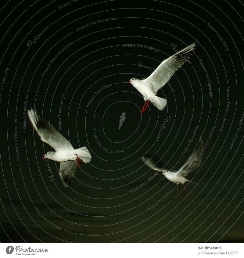 drei Freunde Himmel Meer Strand dunkel Vogel fliegen Luftverkehr Flügel Möwe Nachtaufnahme Lachmöwe