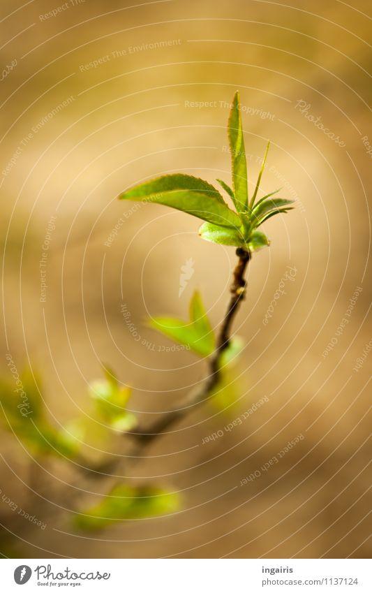 es grünt so grün.. Natur Pflanze Frühling Baum Blatt Ast leuchten Wachstum einfach klein nah natürlich braun gelb Frühlingsgefühle Zufriedenheit Stimmung