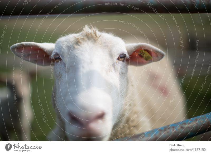 Gestatten? Luise. Tier Fell 1 grün rosa weiß Umwelt Umweltschutz Natur Landschaft Wiese Nordsee Nutztier Tiergesicht beobachten Blick Erholung Tourismus