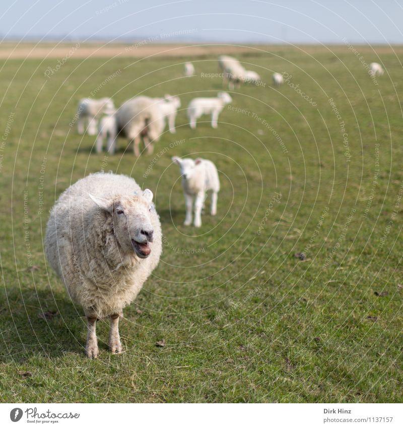 Määäähhhhh! Natur grün weiß Erholung Landschaft Tier Umwelt Frühling Wiese wild Tourismus Tiergruppe beobachten Landwirtschaft Fell Tradition