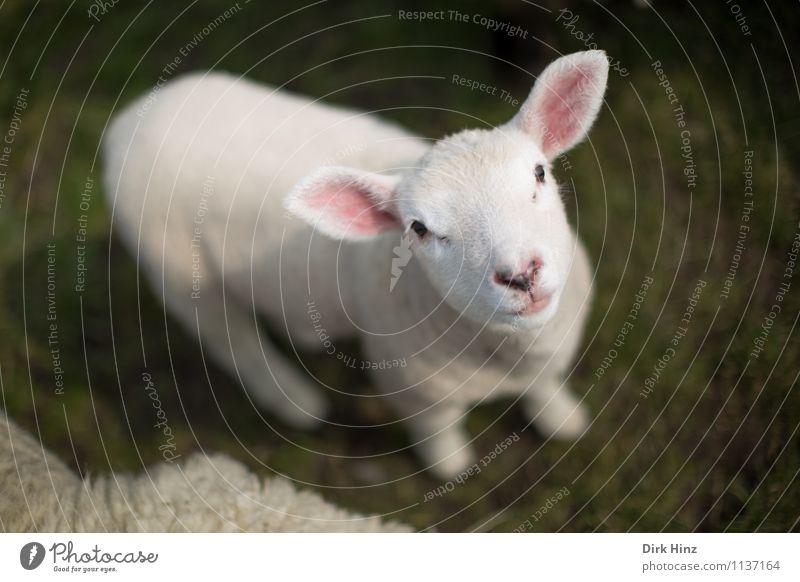 Nordsee-Lamm grün weiß Tier Tierjunges Wiese klein rosa Tourismus warten niedlich weich Neugier Landwirtschaft Fell Appetit & Hunger Tiergesicht