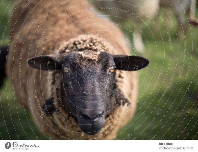 Moin Moin! Natur grün Tier schwarz Umwelt Auge Wiese braun Tourismus stehen warten Neugier Landwirtschaft Ohr Bauernhof Fell