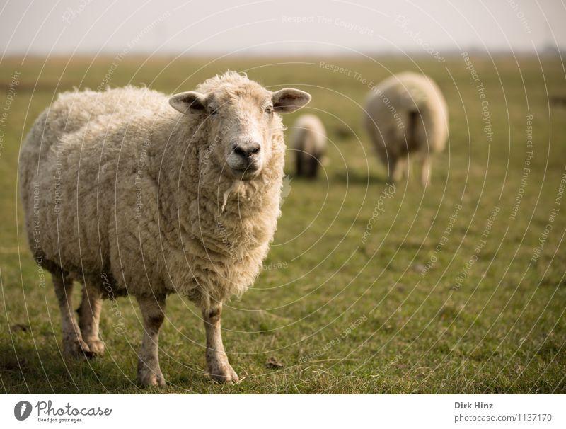 Moin! Umwelt Natur Landschaft Frühling Wiese Nordsee Tier Nutztier Tiergesicht Fell 3 Herde beobachten wild braun grün weiß Erholung Tourismus Tradition