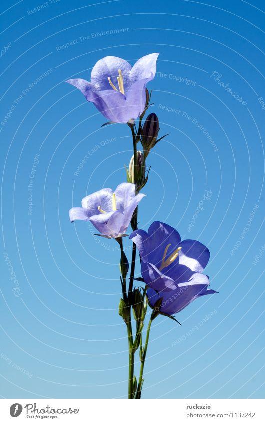 Pfirsichblaettrige; Glockenblume; Campanula persicifolia; Natur Pflanze Blume Blüte Wildpflanze Wiese Blühend frei blau wiesenglockenblumen Wiesenblume
