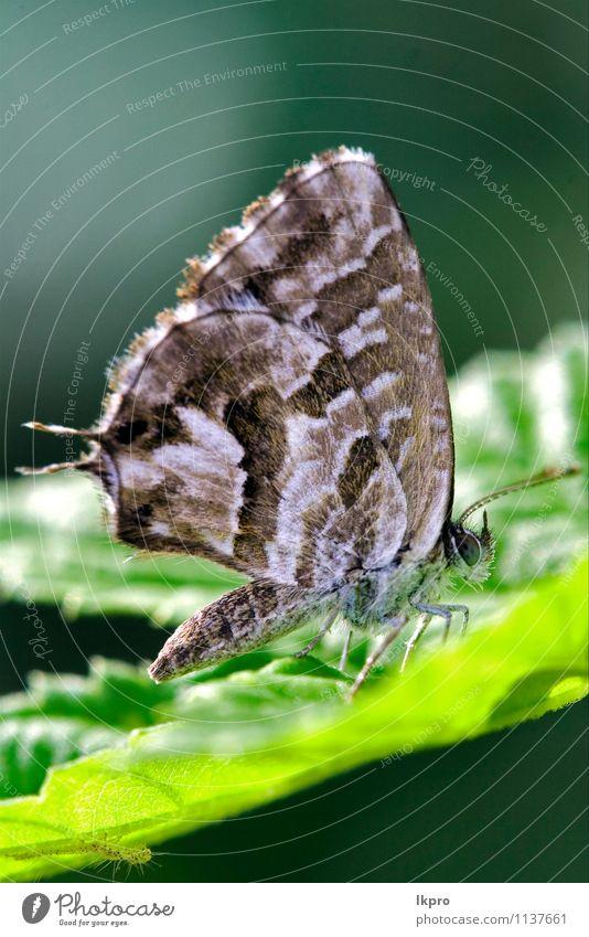 auf einem grünen Blatt im Busch. Sommer Garten Natur Pflanze Weiche Fluggerät Behaarung Schmetterling Pfote Linie Tropfen wild braun grau schwarz Farbe Flügel