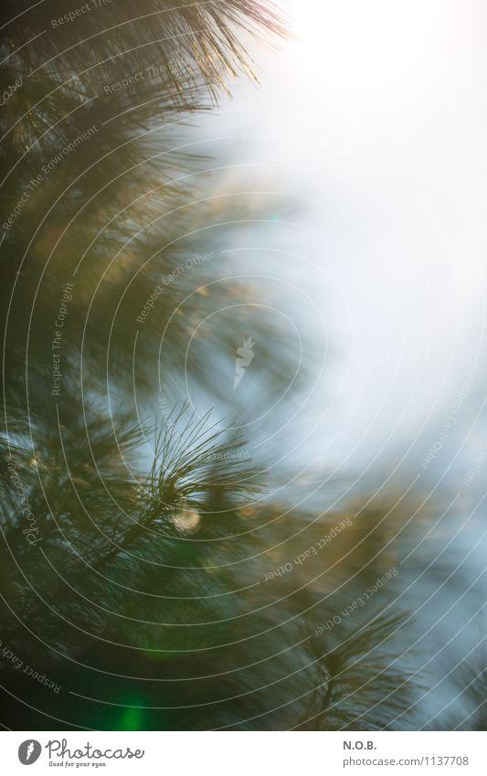 Weich wie Nadeln Natur Pflanze Himmel Frühling Schönes Wetter Baum Nadelbaum Garten Park Wiese Feld Wald Wachstum Freundlichkeit frisch natürlich grün