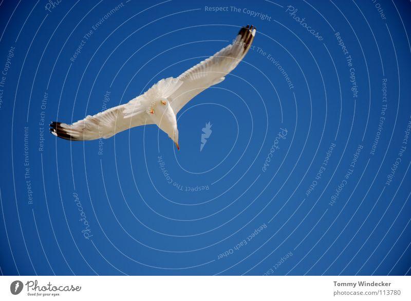 Jonathan Möwe Vogel himmelblau Frieden Sommer Meer See Schweben Segeln Tiefflieger Leichtigkeit Unbeschwertheit Nahrungssuche Luftverkehr flugtauglich Strand