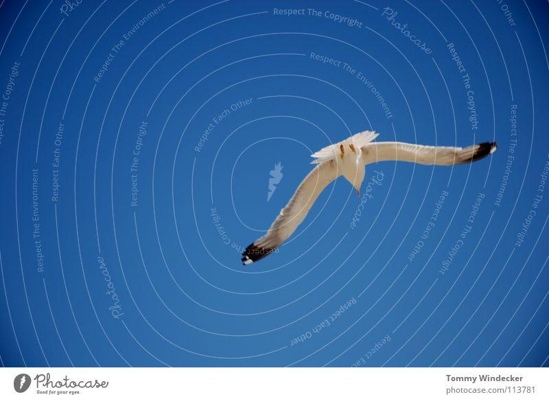 Jonathan II Möwe Vogel himmelblau Frieden Sommer Meer See Schweben Segeln Tiefflieger Leichtigkeit Unbeschwertheit Nahrungssuche Luftverkehr flugtauglich Strand