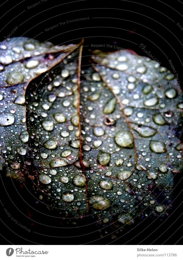 Metallic-Leave in the Rain Blatt Regen Gefäße Herbst Trauer rot violett Makroaufnahme Nahaufnahme Metalic Blue Raindrops Gewitter Wetter Traurigkeit Weather