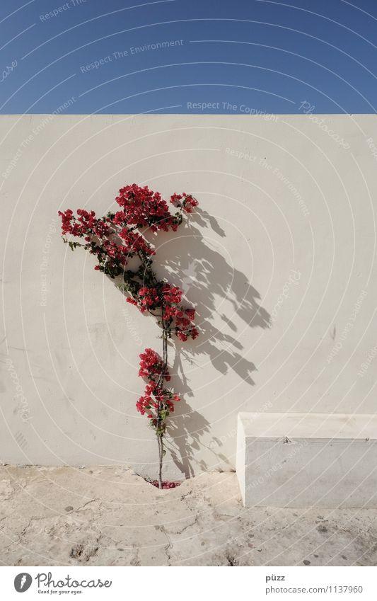 Blumen Tourismus Sightseeing Sommer Haus Traumhaus Garten Wolkenloser Himmel Pflanze Blüte Bauwerk Gebäude Mauer Wand Fassade Stein Beton schön blau rot weiß
