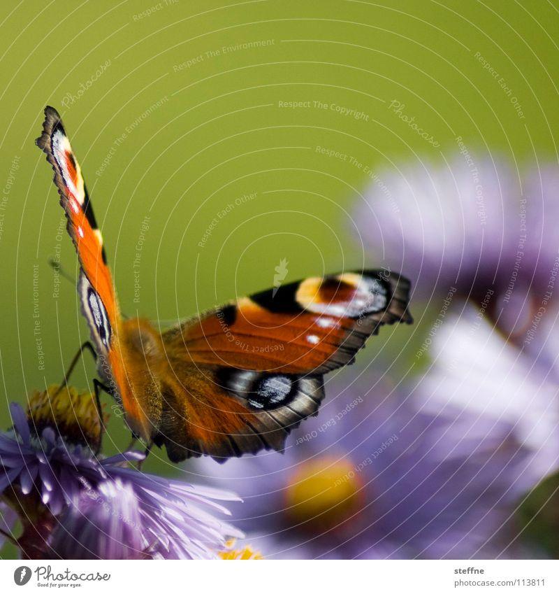 Mach nen Abflug! Schmetterling Wiese Blume Blüte Pflanze Gerbera violett gelb rot weiß schwarz mehrfarbig Sommer Insekt Abheben Physik gehen Kurvenlage