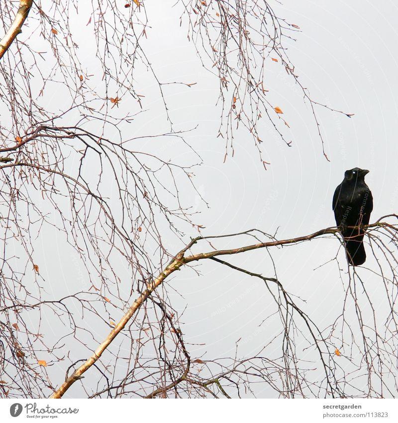 krâwa (althochdeutsch), quadrat Natur Himmel Baum Winter ruhig Blatt Wolken Erholung Herbst Traurigkeit braun Raum Vogel warten sitzen Trauer