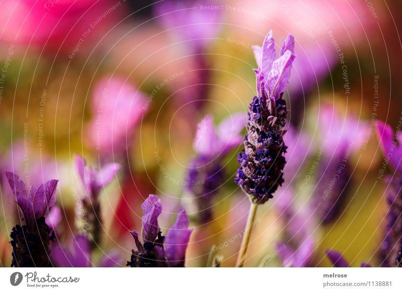 Lavendelduft in der Luft elegant Stil Valentinstag Muttertag Geburtstag Natur Pflanze Frühling Blume Blüte Wildpflanze Blütenstiel Garten Lavendelblütenwiese
