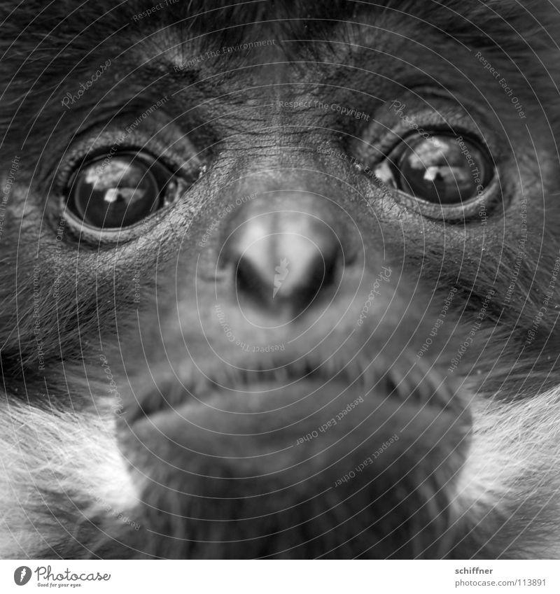 So unendlich traurig Tier Affen Äffchen Kapuzineraffen Trauer Liebeskummer Fell Bart Zoo gefangen lethargisch Säugetier Kapuzineräffchen Auge Traurigkeit weinen