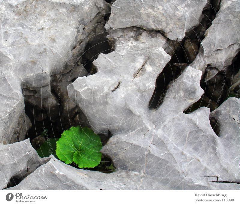 Das umschlossene Blatt grün eckig porös Lebewesen Sauerstoff Kohlendioxid Pflanze groß Verschiedenheit grau Berge u. Gebirge Stein Felsen Riss Feste & Feiern