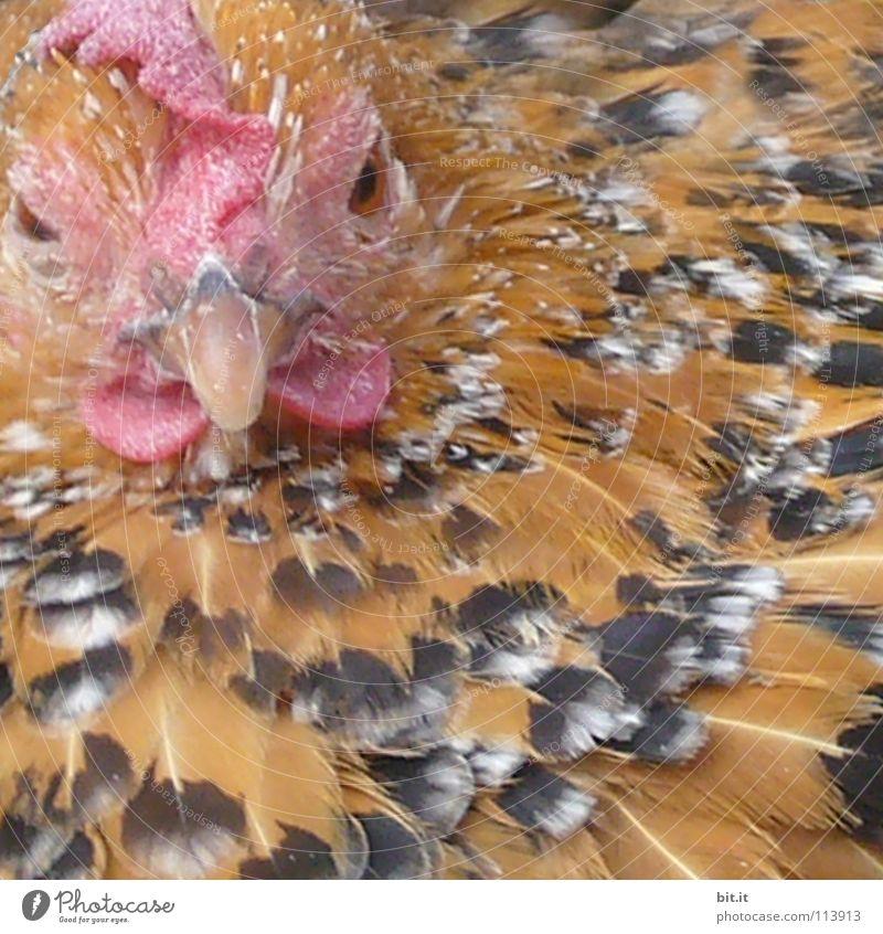 SCHLAFZIMMERBLICK II Haushuhn Hahn Hühnerstall Küche Stall Zoo Tier Frieden Wildnis Bauernhof Landwirtschaft nah Ernährung Lebensmittel schlafen Erholung
