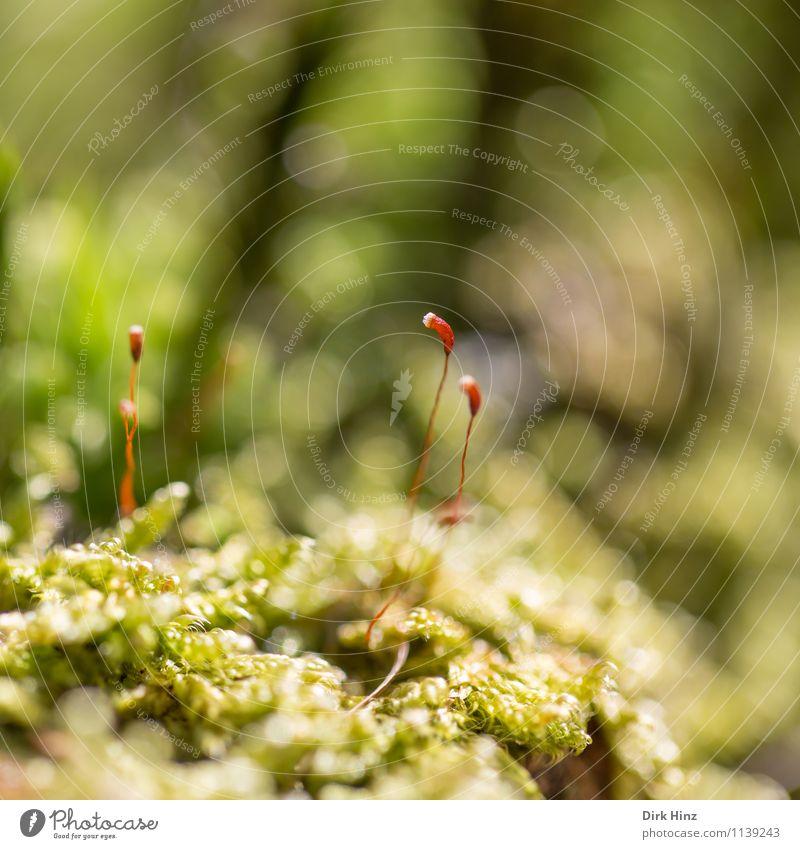 Waldboden VI Umwelt Natur Erde Frühling Pflanze Moos Grünpflanze dünn lang weich grün Teppich Moosteppich nah frisch träumen klein stehen ästhetisch mystisch