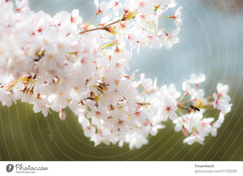 Anflug Natur Pflanze Tier Luft Frühling Schönes Wetter Baum Blüte Kirschbaum Garten Park Biene 1 fliegen genießen Freundlichkeit hell natürlich rosa weiß Glück