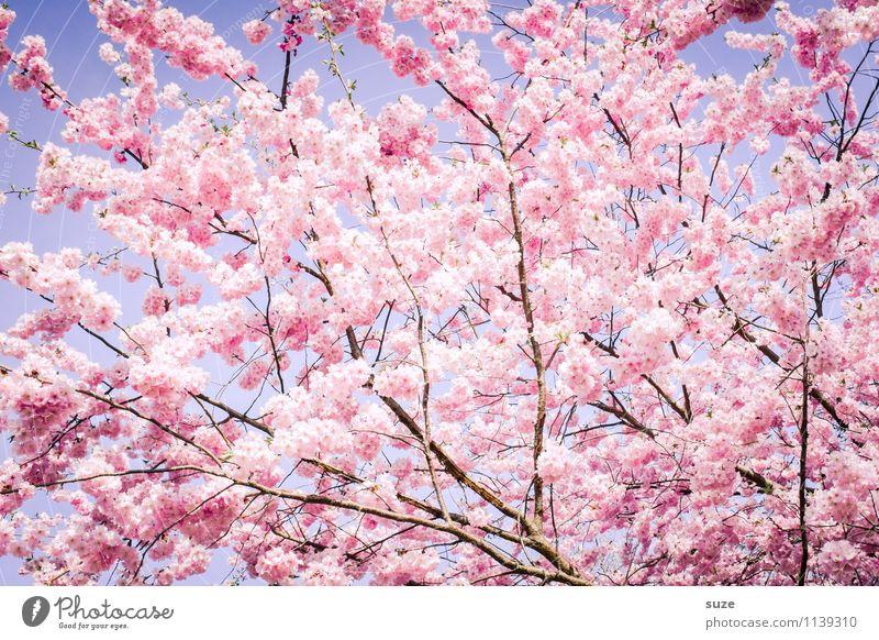 Da geht kein Weg dran vorbei Himmel Natur schön Baum Umwelt Blüte Frühling Gefühle feminin Glück Stimmung rosa Wachstum Sträucher ästhetisch Lebensfreude