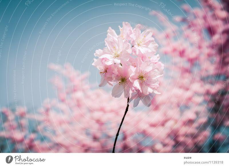 In voller Blüte Glück schön Duft feminin Umwelt Natur Himmel Frühling Schönes Wetter Baum Sträucher Blühend Wachstum ästhetisch Freundlichkeit rosa Gefühle