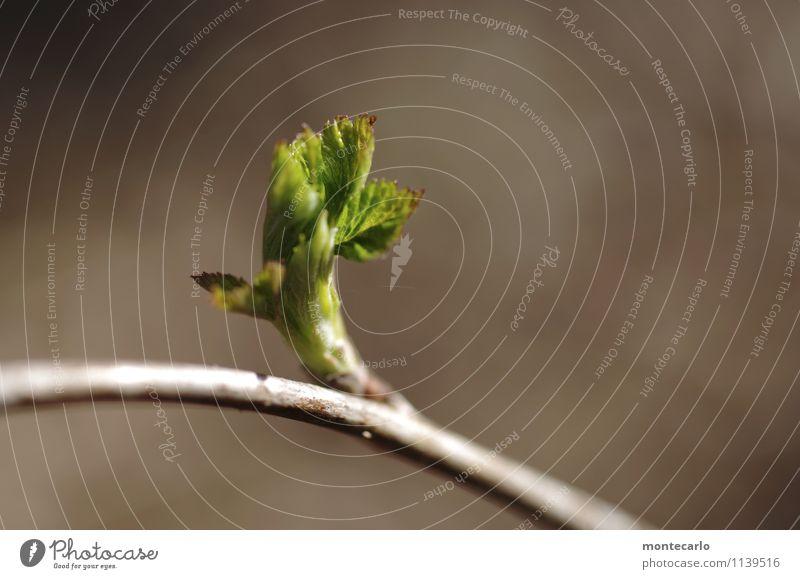 voller saft Umwelt Natur Pflanze Baum Blatt Grünpflanze Wildpflanze Buche dünn authentisch einfach einzigartig klein nah natürlich Wärme weich braun grün