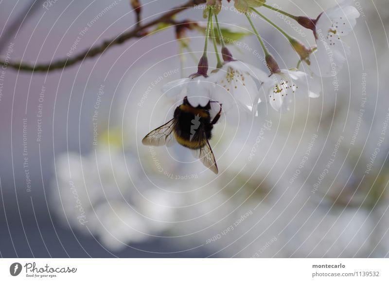 lecker kirschblüten Umwelt Natur Pflanze Frühling Baum Blatt Blüte Grünpflanze Nutzpflanze Wildpflanze Kirschblüten Tier Nutztier Wildtier Flügel Hummel 1 dick