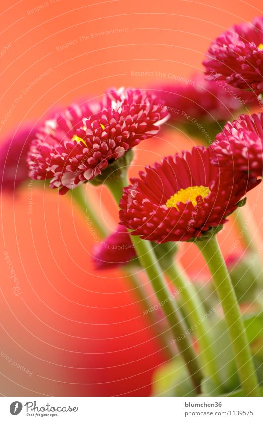 Alles Liebe zum Geburtstag sally2001 Natur Pflanze Frühling Blume Blüte Gänseblümchen Korbblütengewächs Frühlingsblume Blühend Duft Wachstum einfach