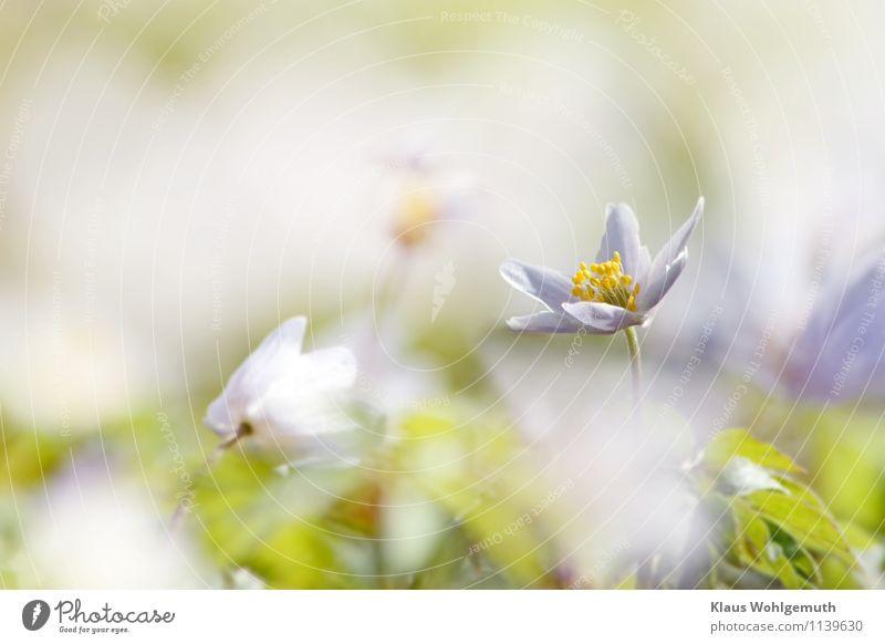 """""""Wer ist die Schönste im ganzen Land?"""" Expedition Umwelt Natur Pflanze Schönes Wetter Blume Blatt Blüte Anemonen Buschwindröschen Park Wald Blühend blau grün"""