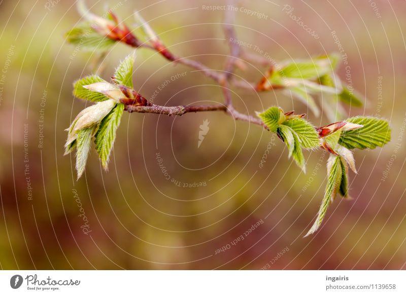 Buchenblättchen Natur Pflanze Frühling Blatt Buchenblatt Blattknospe Wachstum frisch natürlich braun grün rot Frühlingsgefühle Vorfreude Stimmung Außenaufnahme