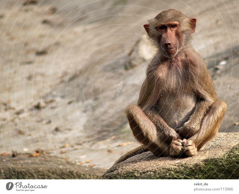 Affen-Yoga Hände im Schoß Hand Tier Einsamkeit Erholung Spielen Tierjunges Felsen Platz Finger Technik & Technologie Ohr Fell Konzentration Wissenschaften Zoo