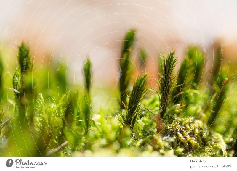Waldboden I Umwelt Natur grün exotisch Grünpflanze Teppich Moosteppich Nahaufnahme weich frisch klein winzig stehen Erde verwildert filigran unberührt feucht