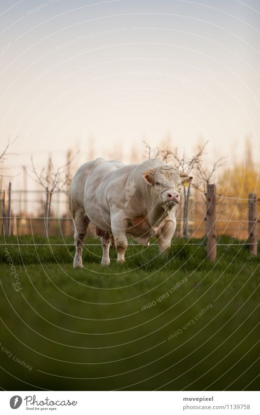 Auf der grünen Weide steht ein.. Frühling Gras Wiese Tier Bulle 1 Blick stehen Aggression Wut Kraft Angst Respekt Natur Farbfoto Außenaufnahme Dämmerung