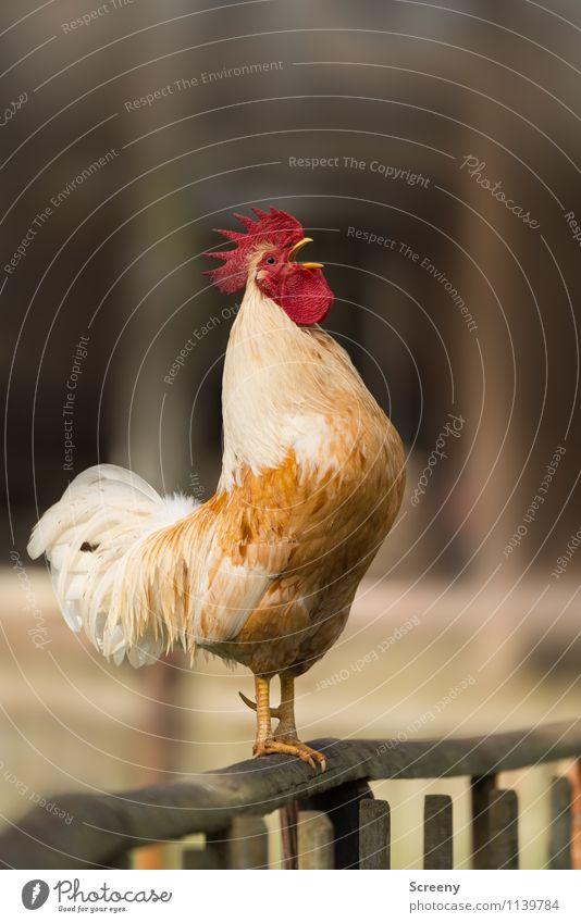 """""""AUFSTEHEN!!!""""* Natur Tier Nutztier Hahn 1 schreien stehen Euphorie selbstbewußt Kraft Leidenschaft achtsam Wachsamkeit Pünktlichkeit Erwartung Zeit Hahnenkamm"""