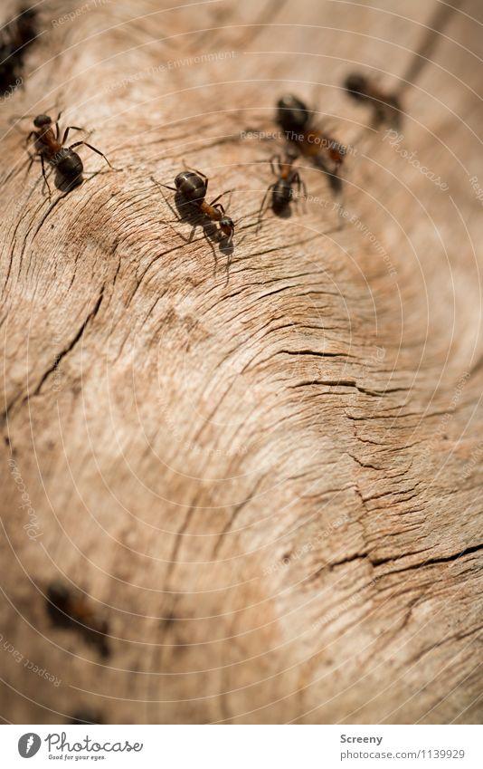 Auf zur Arbeit... Natur Pflanze Tier Wald Wildtier Ameise Tiergruppe Holz krabbeln klein wild Zusammensein Farbfoto Außenaufnahme Detailaufnahme Makroaufnahme