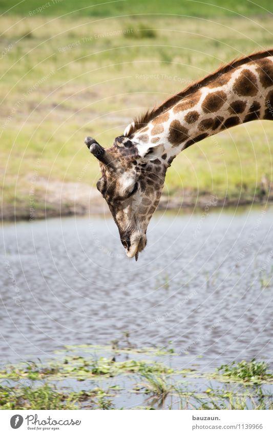 :-P. Ferien & Urlaub & Reisen Tourismus Ausflug Abenteuer Safari Expedition Sommer Sommerurlaub Umwelt Natur Wasser Gras Sträucher Flussufer Chobe Botswana