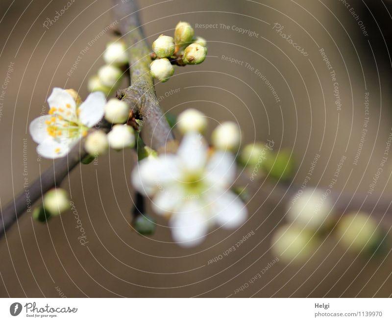 Knospen und Blüten... Natur Pflanze Frühling Schönes Wetter Sträucher Wildpflanze Blütenknospen Zweig Weissdorn Park Blühend Wachstum ästhetisch frisch schön
