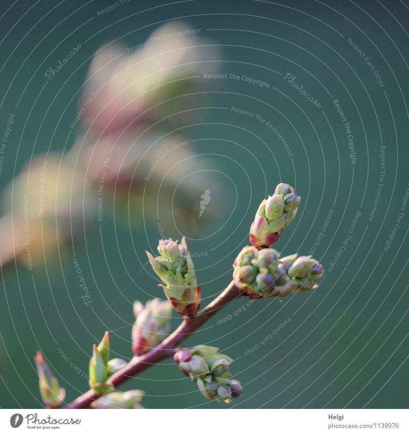 Knospen... Natur Pflanze grün Leben Frühling natürlich grau klein Garten braun Wachstum frisch Kraft authentisch Sträucher ästhetisch