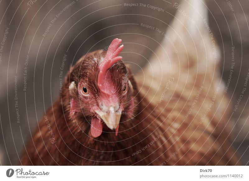 Freilandhaltung! weiß rot Tier kalt natürlich grau braun Vogel rosa Kopf stehen Ernährung beobachten Landwirtschaft Zaun Wachsamkeit