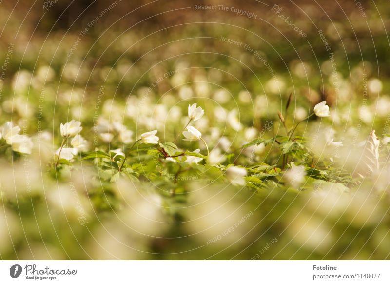 Blütenmeer Umwelt Natur Landschaft Pflanze Frühling Blume Wald hell klein nah natürlich grün weiß Frühblüher Buschwindröschen Farbfoto mehrfarbig Außenaufnahme