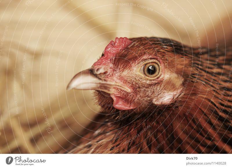 Etwas ausbrüten. weiß rot ruhig Tier schwarz natürlich Holz braun Lebensmittel Vogel rosa sitzen Landwirtschaft Hütte Haustier Ei