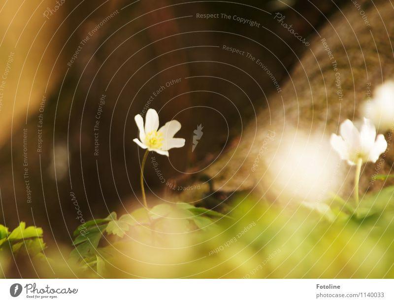 Frühlingsbote Umwelt Natur Pflanze Blume Blüte Wald frisch hell klein nah natürlich braun grün weiß Buschwindröschen Frühblüher Frühlingsblume Frühlingsfarbe