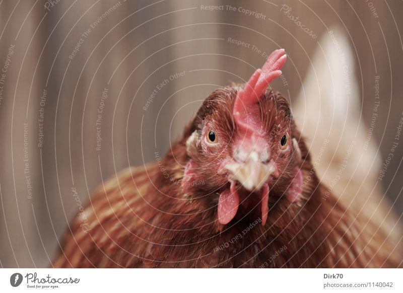 400? Echt? Zeig her! weiß rot Tier schwarz natürlich Holz braun Lebensmittel Vogel rosa Feder Ernährung beobachten Neugier Landwirtschaft Zaun