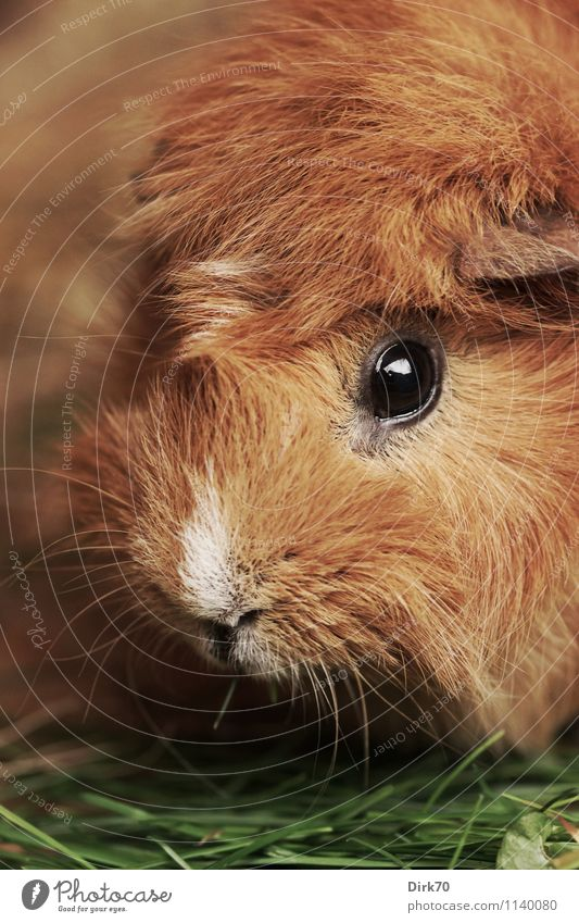 Meerschweinchen, ganz nah! Häusliches Leben Garten Gras Halm Tier Haustier Tiergesicht Schnauze Auge Fell Nagetiere 1 Fressen Blick Freundlichkeit schön