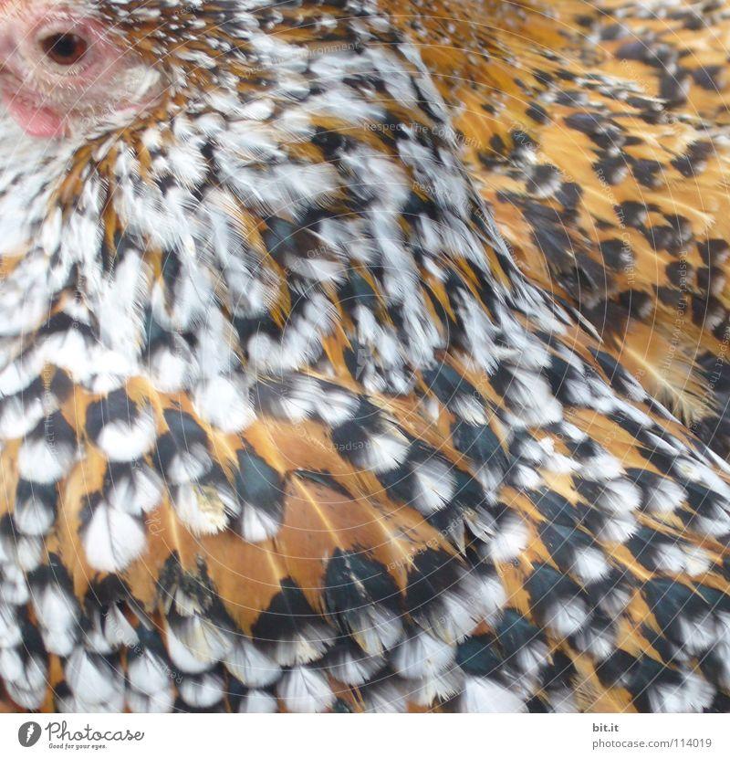 DOPPELHUHN SUCHT DOPPELKORN Haushuhn Hahn Hühnerstall Küche Stall Zoo Tier Frieden Wildnis Bauernhof Landwirtschaft nah Ernährung Lebensmittel schlafen Erholung