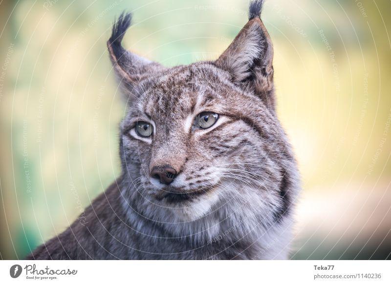 Der Luchs II Stil Umwelt Natur Wald Tier Wildtier 1 Abenteuer Farbfoto Außenaufnahme Menschenleer Schwache Tiefenschärfe Tierporträt Wegsehen