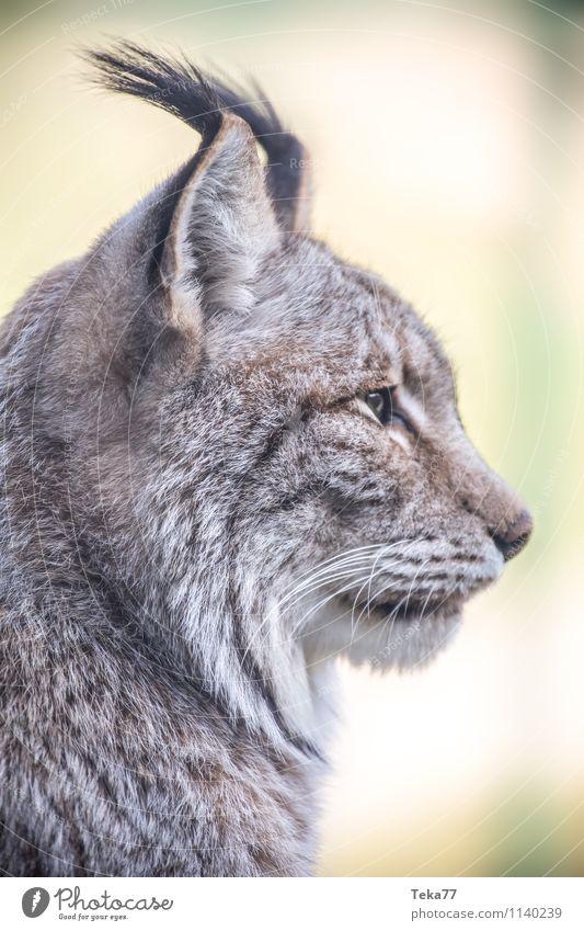 Der Luchs I Stil Umwelt Natur Wald Tier Wildtier 1 Abenteuer Farbfoto Außenaufnahme Menschenleer Schwache Tiefenschärfe Tierporträt Wegsehen