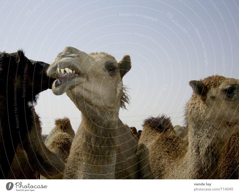 Wo gehts hier zum Zahnarzt? Himmel blau Tier mehrere Wüste Gebiss Fleisch Säugetier Arabien Kamel Zigarettenmarke Kamelhöcker